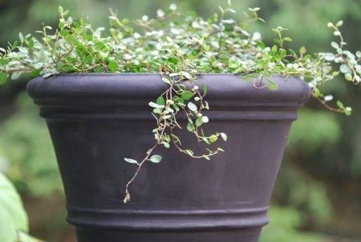terracottakrukor liscio doppio bordo piccolo licorice svart snygg kruka